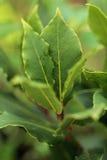 erbe Ramo fresco di alloro nel giardino Fotografia Stock Libera da Diritti