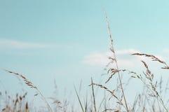 Erbe selvatiche alte sotto il cielo di Aqua Blue nell'estate Immagini Stock