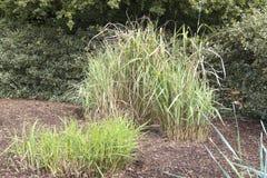 Erbe variegate alte come caratteristica in un giardino lanscaped Fotografia Stock