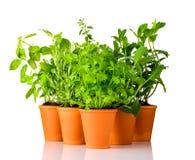 Erbe verdi che crescono in vasi delle terraglie su fondo bianco Fotografie Stock