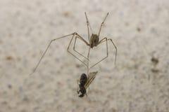 Erbeutende Spinne ein Insekt Lizenzfreie Stockbilder