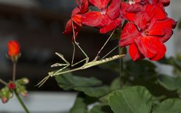 Erbeutungsgottesanbeterin Conehead auf einer roten Pelargonie stockfotografie
