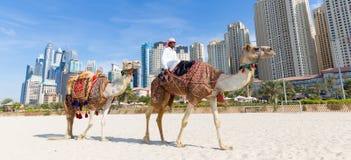 Erbjudande kamelritt för man på den Jumeirah stranden, Dubai, Förenade Arabemiraten Royaltyfri Foto
