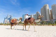 Erbjudande kamelritt för man på den Jumeirah stranden, Dubai, Förenade Arabemiraten Royaltyfria Foton