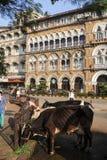 Erbjudande mat för folk till den heliga kon på Mumbai, Indien Arkivfoton