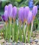 Erblassen Sie den purpurroten Krokus, der auf einem Rockery im Vorfrühling wächst Stockfoto