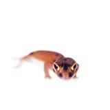 Erblassen Sie Griff-angebundenen Gecko, auf Weiß Stockbilder