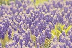 Erblassen Sie Hintergrund von Blumen, die im Purpur blühen Stockfoto