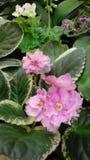 Erblassen Sie - rosa Usambaraveilchen Stockbilder