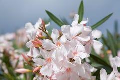 Erblassen Sie - rosafarbene Oleanderblumen Lizenzfreies Stockfoto