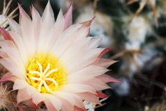 Erblassen Sie - rosafarbenes Coryphantha Stockbild