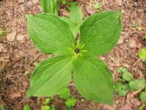 erbparis quadrifolia arkivbild