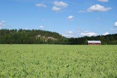 Erbsen-Feld Lizenzfreies Stockfoto