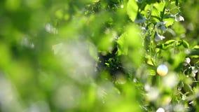 Erbsen im Garten, DA-Latstadt, Lam Dong-Provinz, Vietnam stock video footage