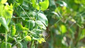 Erbsen im Garten, DA-Latstadt, Lam Dong-Provinz, Vietnam stock footage