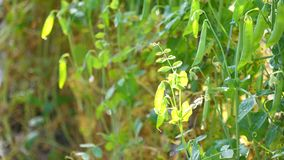 Erbsen im Garten, DA-Latstadt, Lam Dong-Provinz, Vietnam stock video