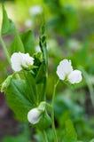 Erbsenblühen Stockfotografie