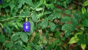 Erbsenblume im Garten lizenzfreies stockfoto
