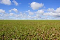 Erbsenfeld im Frühjahr Stockbild