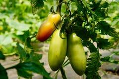 Erbstück-Tomaten Sans Marzano auf der Rebe Stockbild
