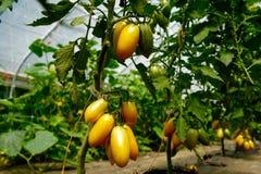 Erbstück-Tomaten Sans Marzano auf der Rebe Lizenzfreie Stockfotos
