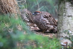 Erckel francolin Stock Images