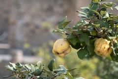 Ercolano, Italia Giardino del cortile con l'albero da frutto in rovine della città romana di Ercolano/Ercolano vicino a Napoli, I fotografie stock