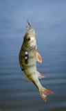 Żerdź rybi chwyt na haczyku Basowej rzeki rybi i naturalny tło aktywności połowu ilustracja odizolowywający wektorowy biel Zdjęcia Stock