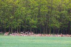 Erd of deers during spring of green field close to forest - spring. Herd of deers during spring of green field close to forest - wild animals stock photography