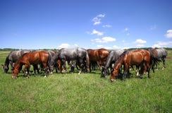 Erd dos cavalos no pasto fotografia de stock royalty free
