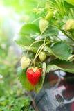 Erdbeeranlage Stockfotografie
