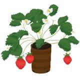 Erdbeeranlage Stockfoto