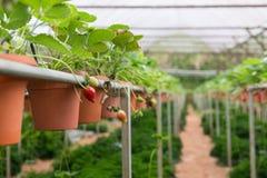 Erdbeeranlage Lizenzfreie Stockbilder