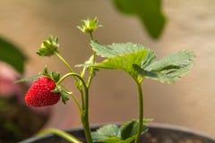 Erdbeeranlage in a lizenzfreies stockfoto