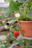 Erdbeeranlage in der Gartenkindertagesstätte Stockbilder