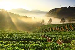 Erdbeeranlage an doi ANG-khang Berg Lizenzfreies Stockfoto