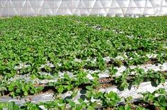 Erdbeeranlage im Hausbauernhof am chiangmai Stockbilder