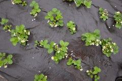 Erdbeeranlagen mit Blumen Stockfoto