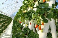 Erdbeerbauernhof Stockbilder