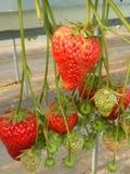 Erdbeerbauernhof in Japan 2015 Lizenzfreie Stockfotos