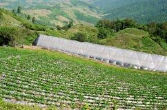 Erdbeerbauernhofanlage am chiangmai Thailand Stockfotos