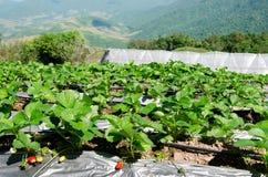 Erdbeerbauernhofanlage am chiangmai Thailand Lizenzfreie Stockfotos
