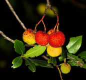 Erdbeerbaum. Fruits of an strawberry tree Stock Image