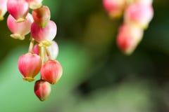 Erdbeerbaum-Blütentraube-Blütentraube stockfotos