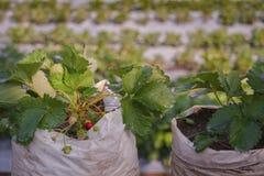 Erdbeerbaum im Bauernhof Lizenzfreie Stockbilder