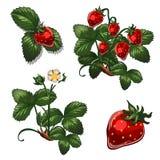 Erdbeerbeeren in den verschiedenen Wachstumsstufen Vector die Illustration in der Karikaturart lokalisiert auf Weiß Lizenzfreies Stockbild