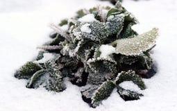 Erdbeerblatt im Schnee in der Winternatur Stockbilder