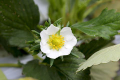 Erdbeerblume Lizenzfreies Stockfoto