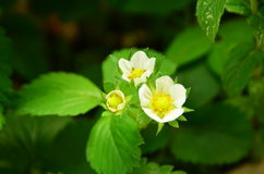 Erdbeerblume Stockfotos