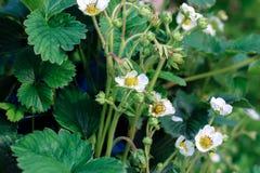 Erdbeerblumen schließen oben lizenzfreie stockfotos